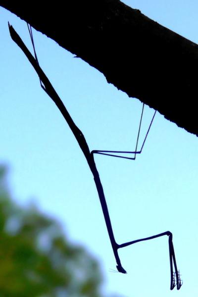 mantis-obodsml