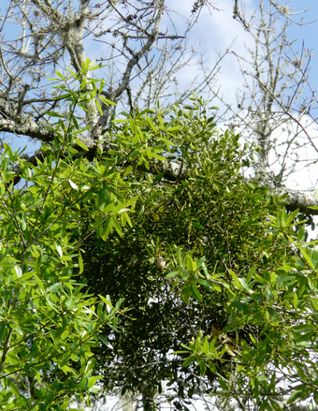 Mistletoe in oak