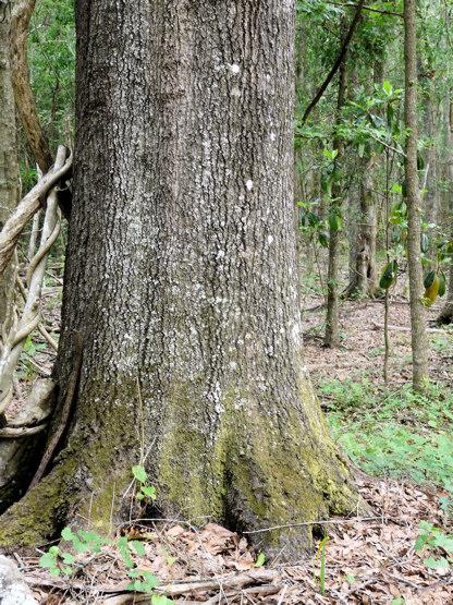 Laurel Oak, Florida