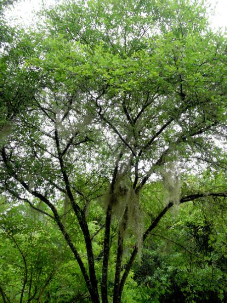 Flatwoods Plum