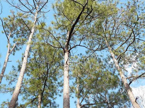 Slash Pine