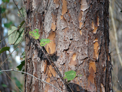 Slash Pine bark