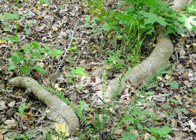 Sweet Gum roots