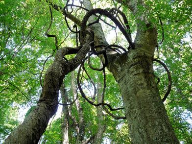 Muscadine Grape vine on tree