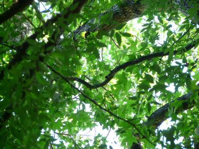 Winged Elm leaves