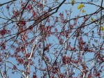 Red maples blooming