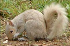Non-albino white squirrel, Covington, TN