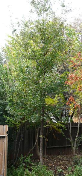 Pruned Oak sml