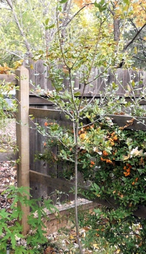 Transp oak pyrc sml